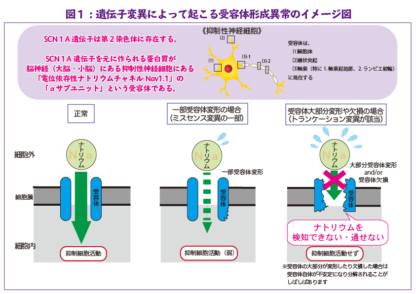 図1:遺伝子変異によって起こる受容体形成異常のイメージ図