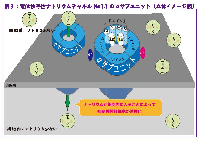 図3:電位依存症ナトリウムチャネルNa1.1のαサブユニット(立体イメージ図)