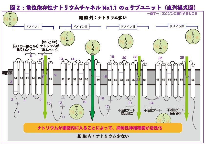 図2:電位依存症ナトリウムチャネルNa1.1のαサブユニット(直列模式図)