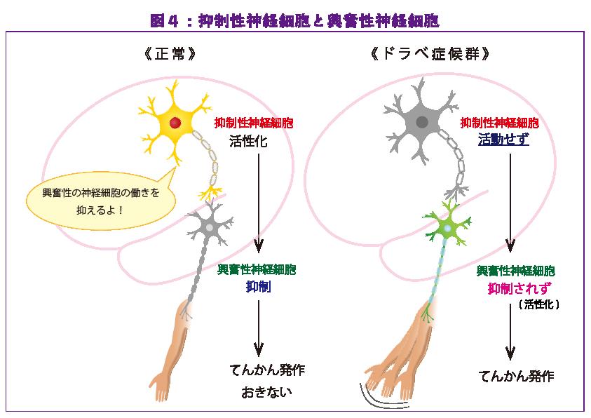 図4:抑制性神経細胞と興奮性神経細胞